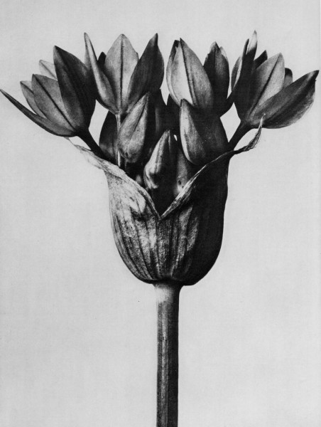 karl-blossfeldt-plant-portraits-allium-ostrowskianum-umbel-of-a-garlic-plant-enlarged-6-times